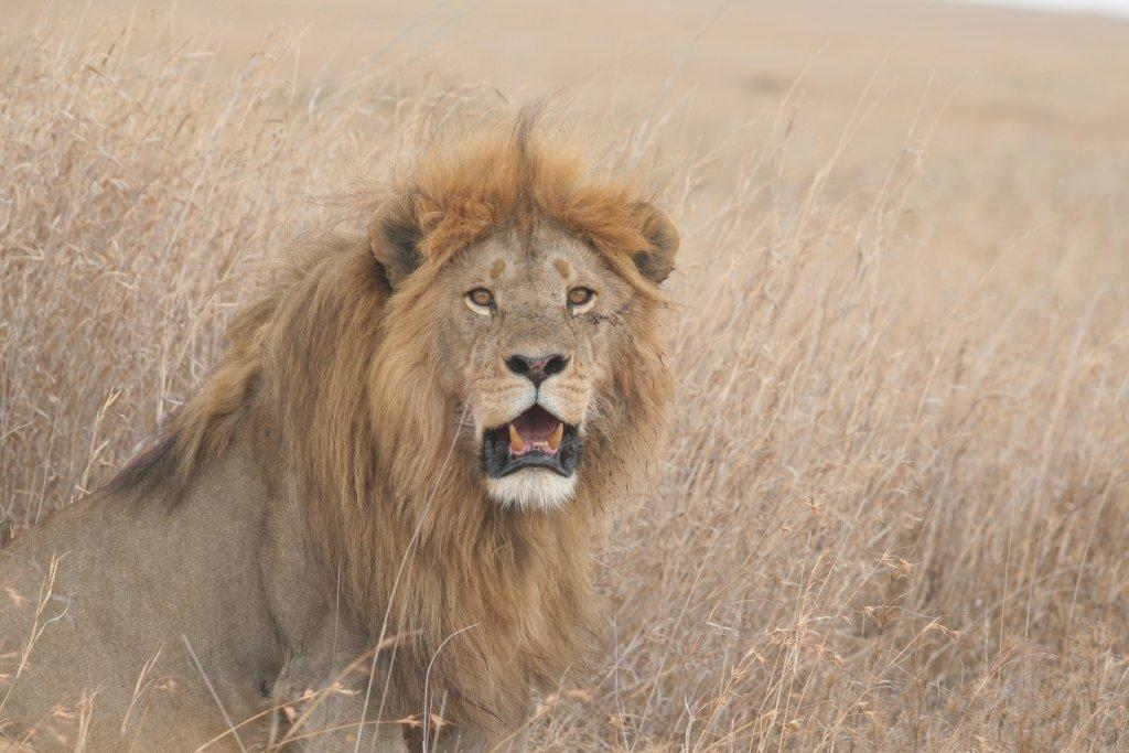 Male lion in Central Serengeti, Dry Season