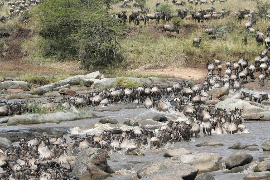 Wildebeest Migration crossing Mara River in North Serengeti, Dry Season