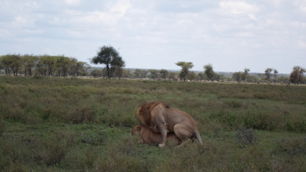 Lion Mating.