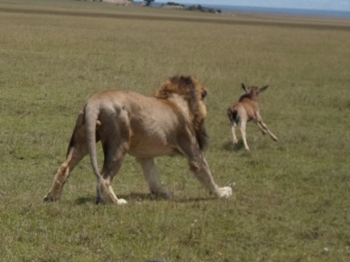 Wildebeest baby escaping a male lion at Gol Kopjes.