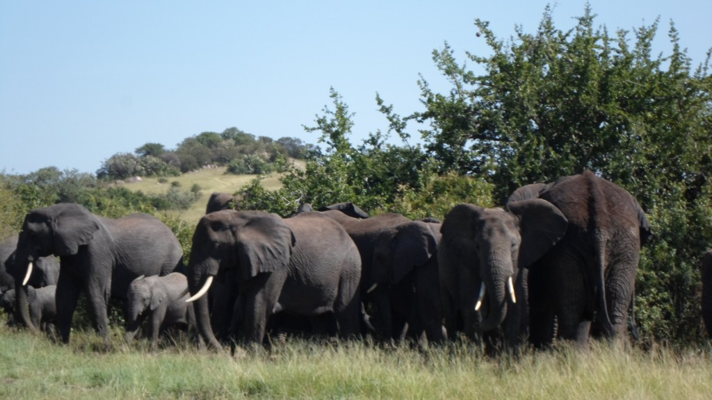 Group of elephants gathering.