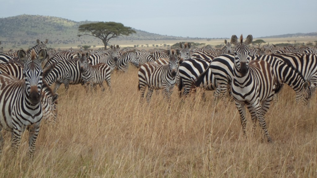 Zebra's on migration.