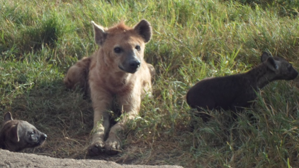 Hyena with young ones - at ngorongoro crater.