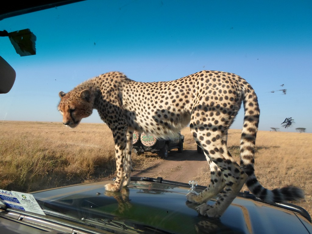 Cheetah on the hood of the car.