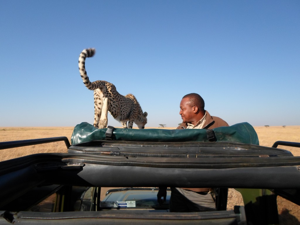 Cheetah on top of the car.