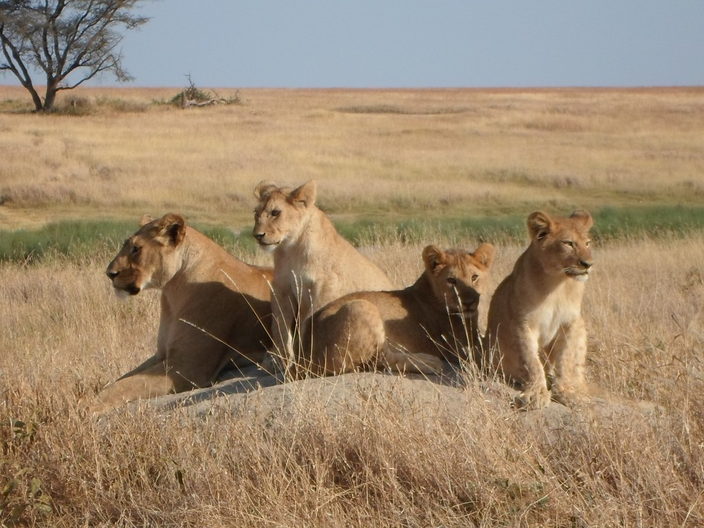 Lions at sametu marsh.