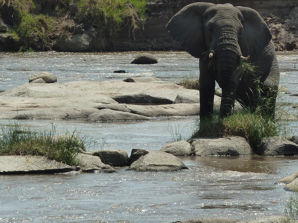 An elephant feeding in the Mara river.
