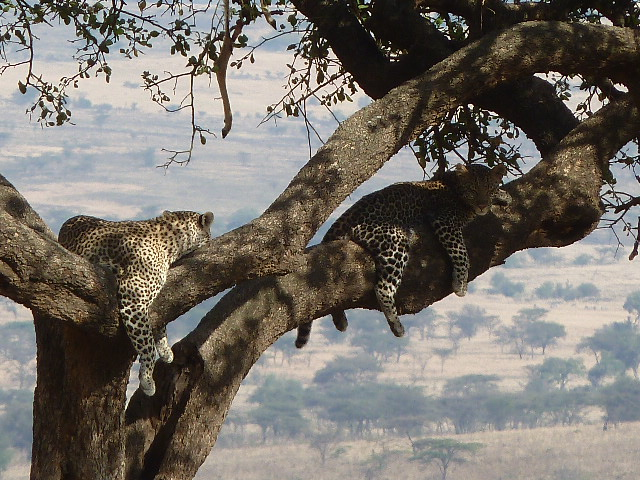 At lobo valley, a mother and young leopard