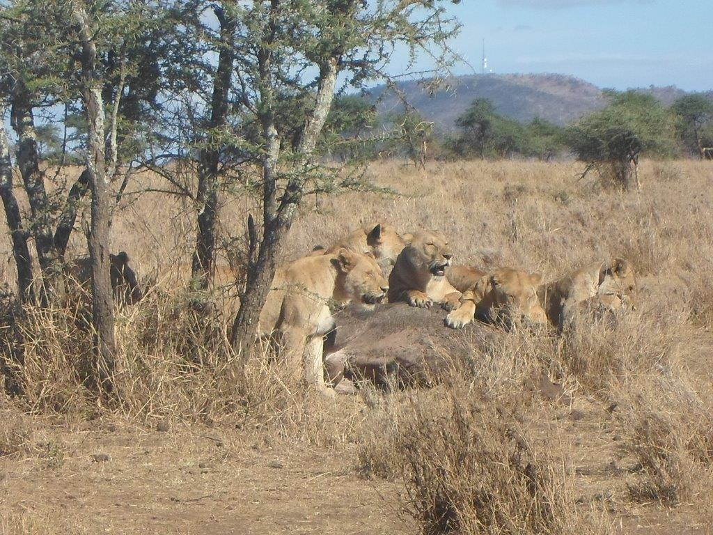 By Peter Huka – Lions Hunting Buffalo – A Tanzania Travelogue