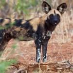 Wild Dog Tanzania_0000_Layer 1