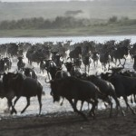 Wildebest cross Lake Ndutu.dng