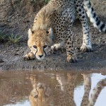 cheetah reflection