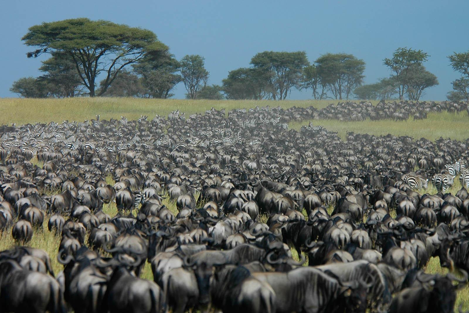 Serengeti Predators Like A Dog