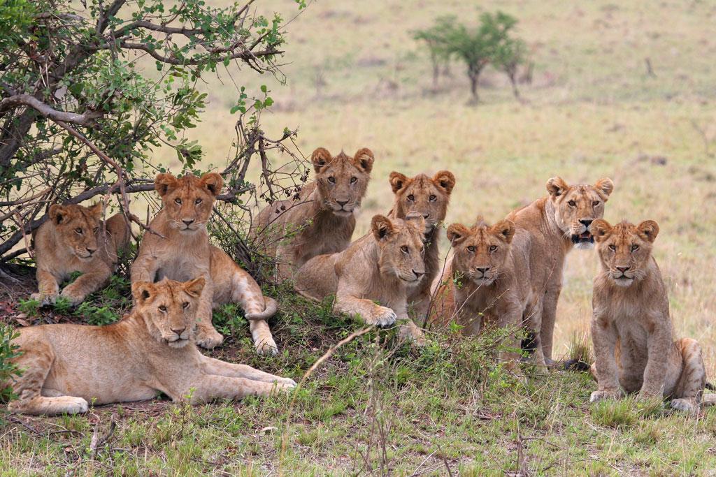 1 - Lion Pride