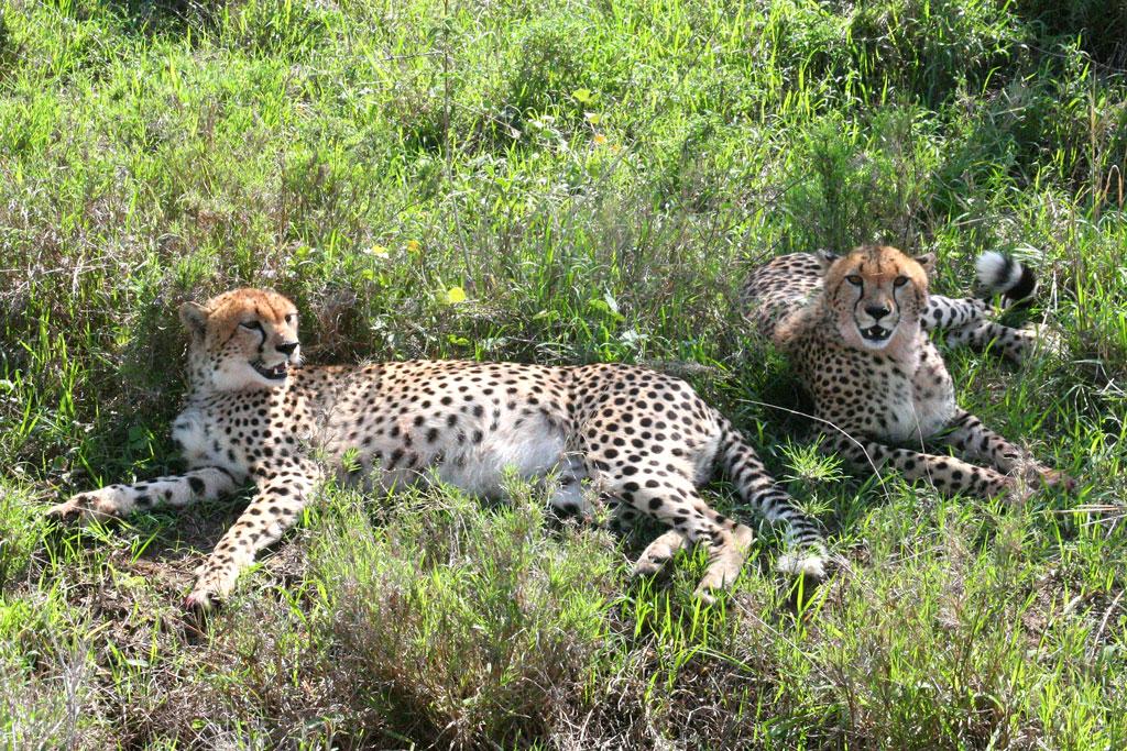 12 - Cheetahs