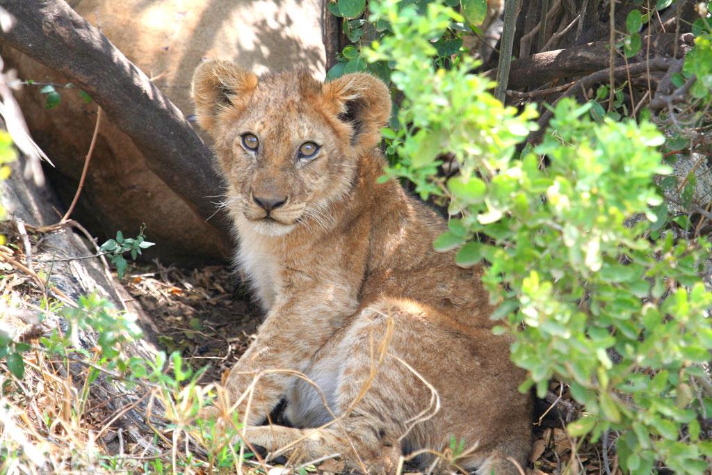 14 - Lion Cub