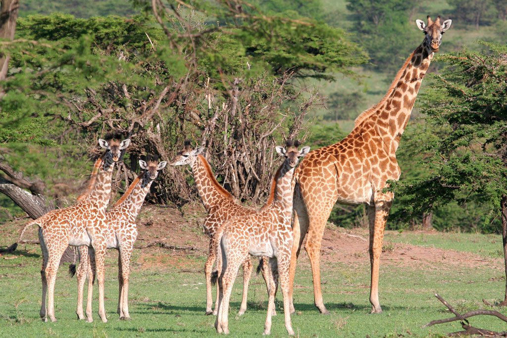 3 - Giraffe Baby-Sitter