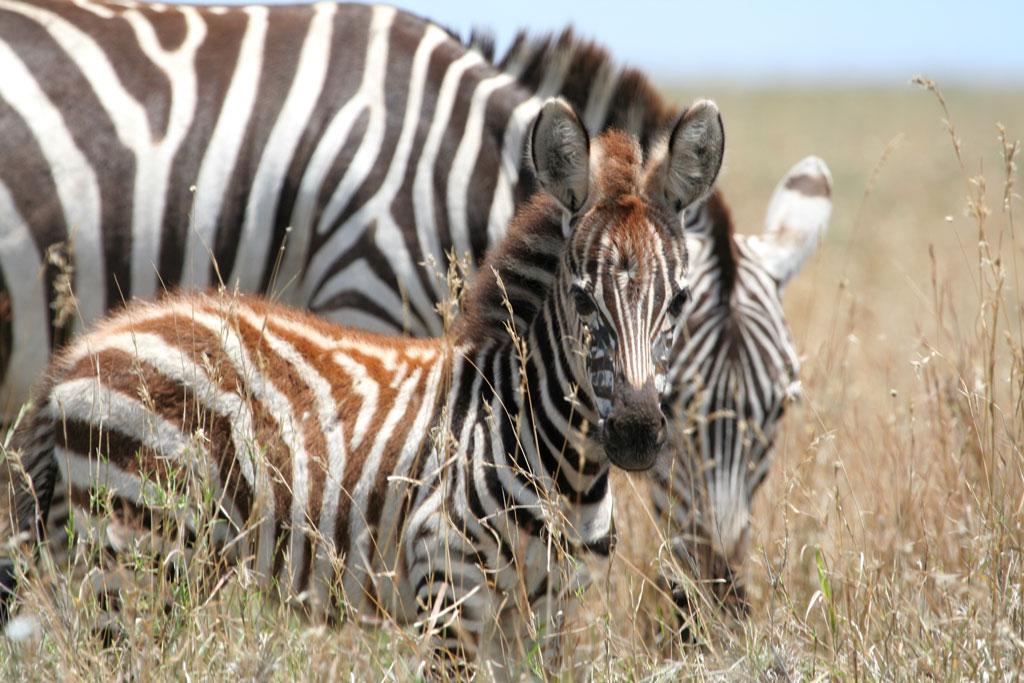 4 - Zebra Foal