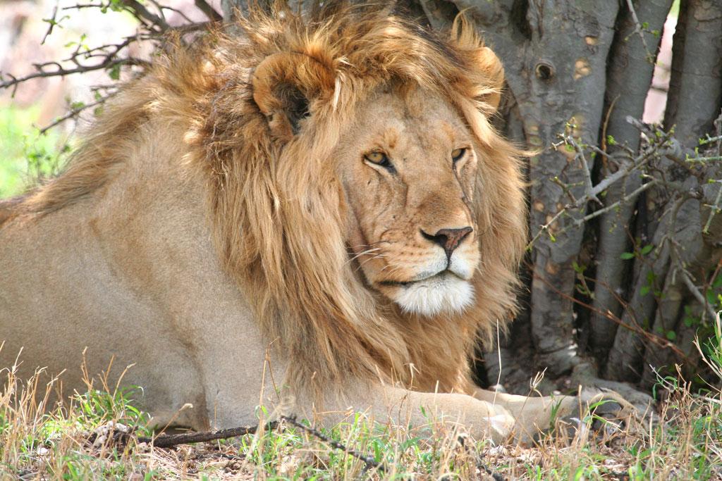 6 - Male Lion