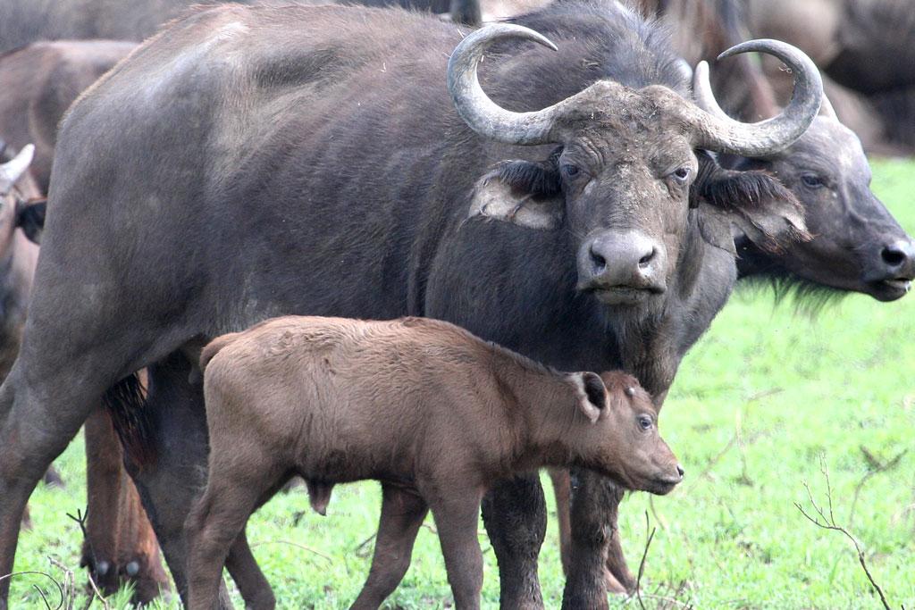 7 - Cape Buffalo