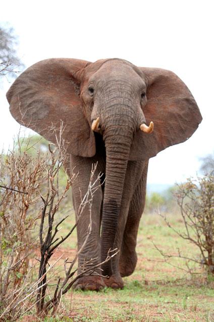8 - Charging Elephant