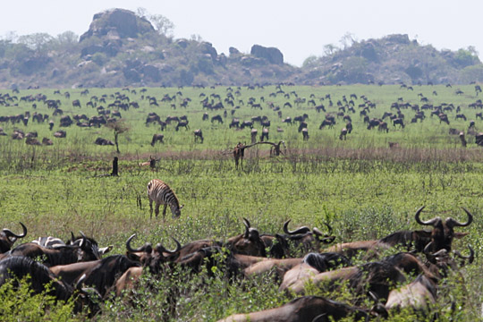 November 16th - Maasai Kopjes - Central Serengeti