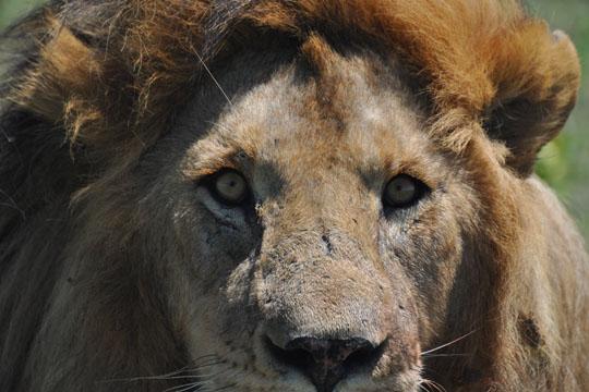 Male Lion - East Serengeti - April 2010