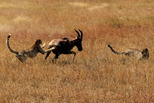 Cheetah and Topi Battle0 - July 29, 2010