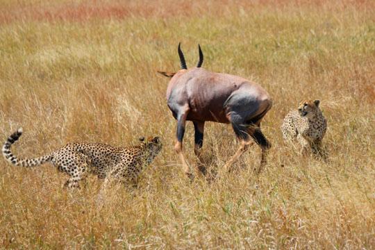 Cheetah and Topi Battle3 - July 29, 2010