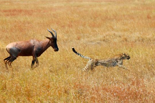 Cheetah and Topi Battle4 - July 29, 2010