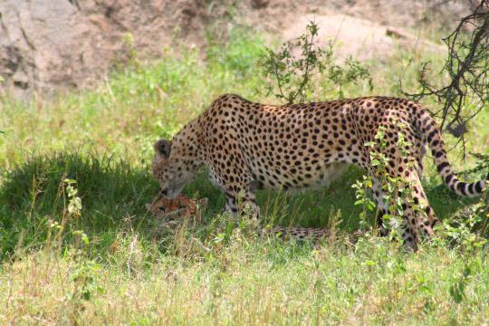 Gol Kopjes Cheetah - February 2011