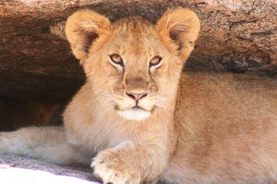 Gol Kopjes Lion - February 2011