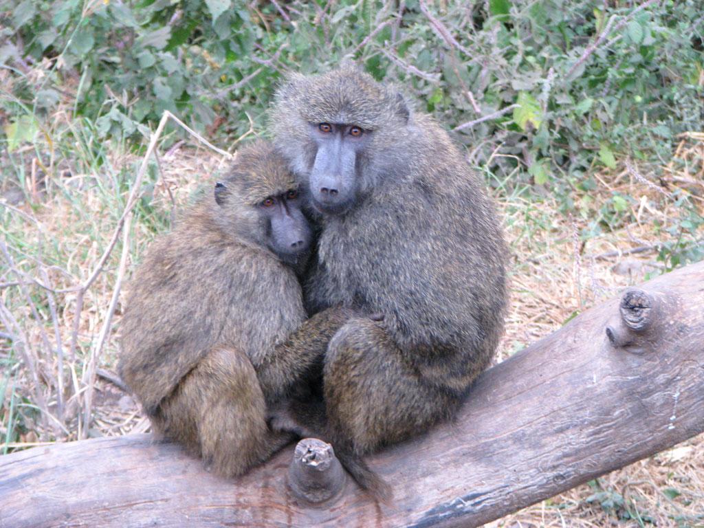 Baboon Hug