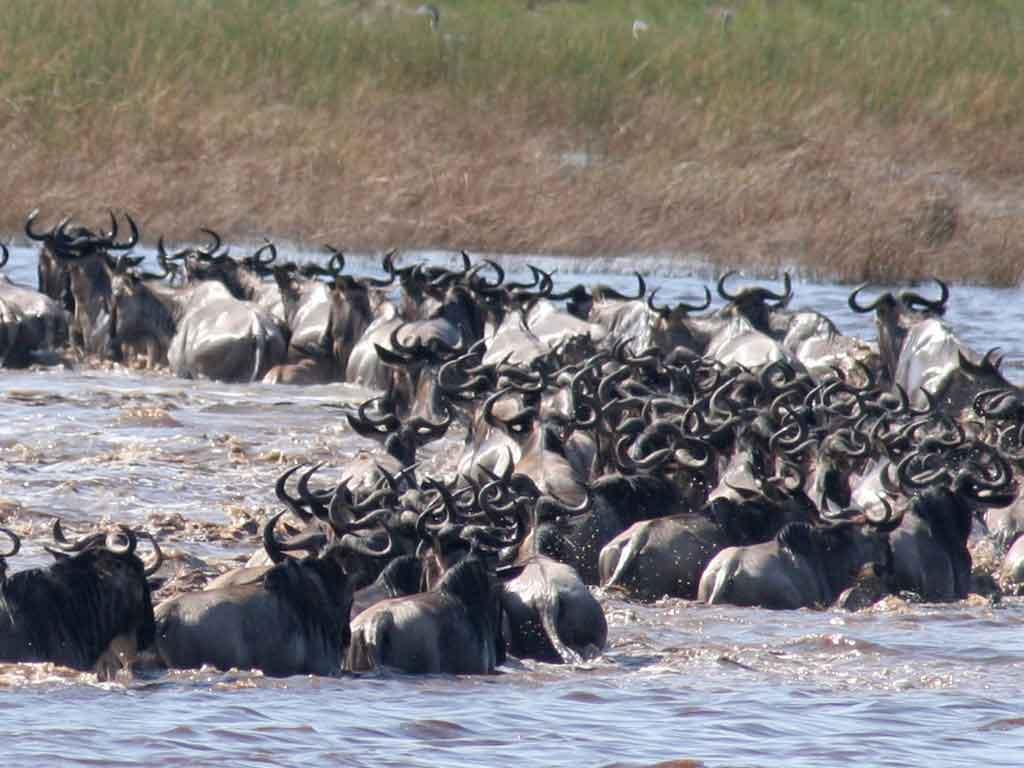 C- Wildebeest Crossing