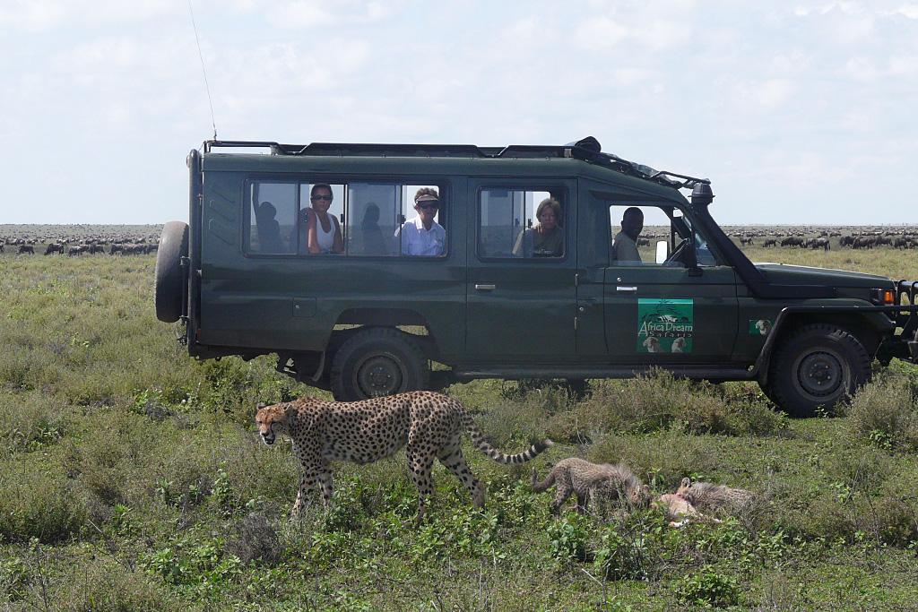 Cheetah Family Having Lunch