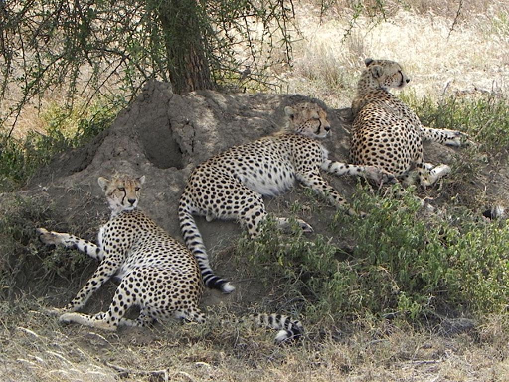Cheetah-Trio