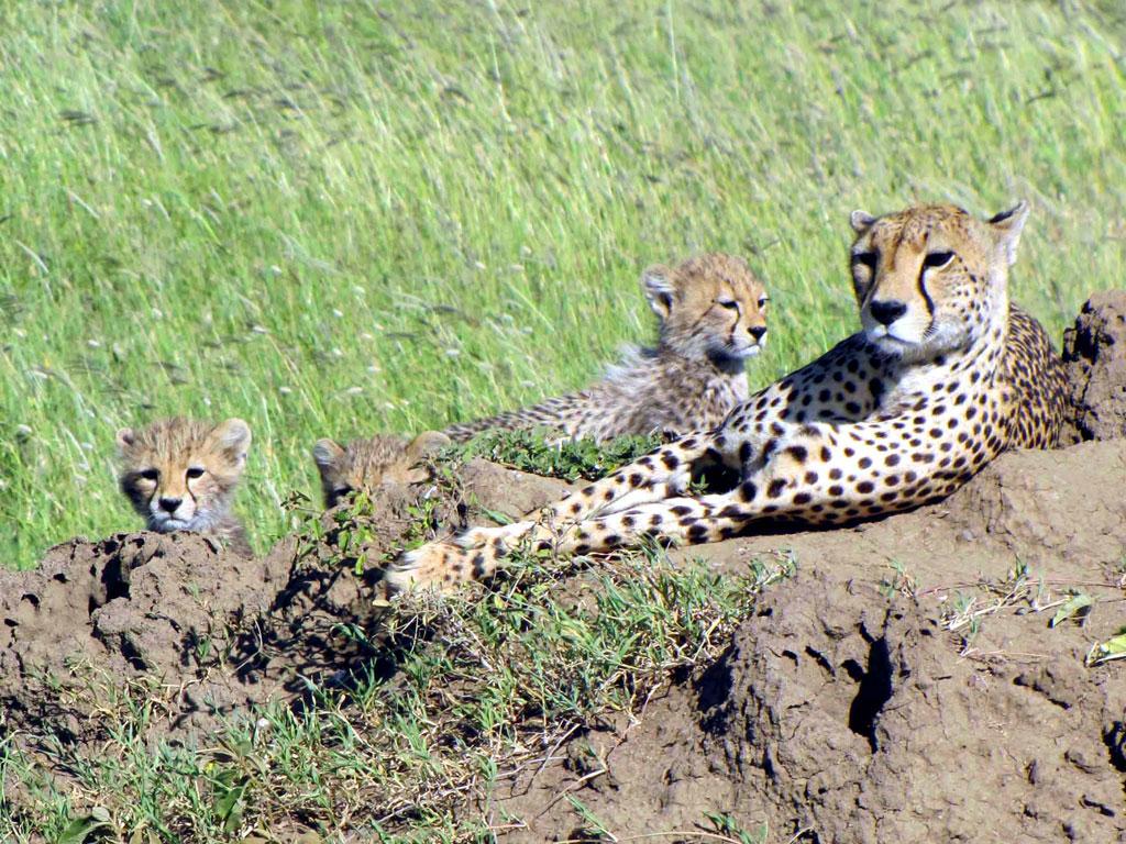 Cheetah and Three Cubs