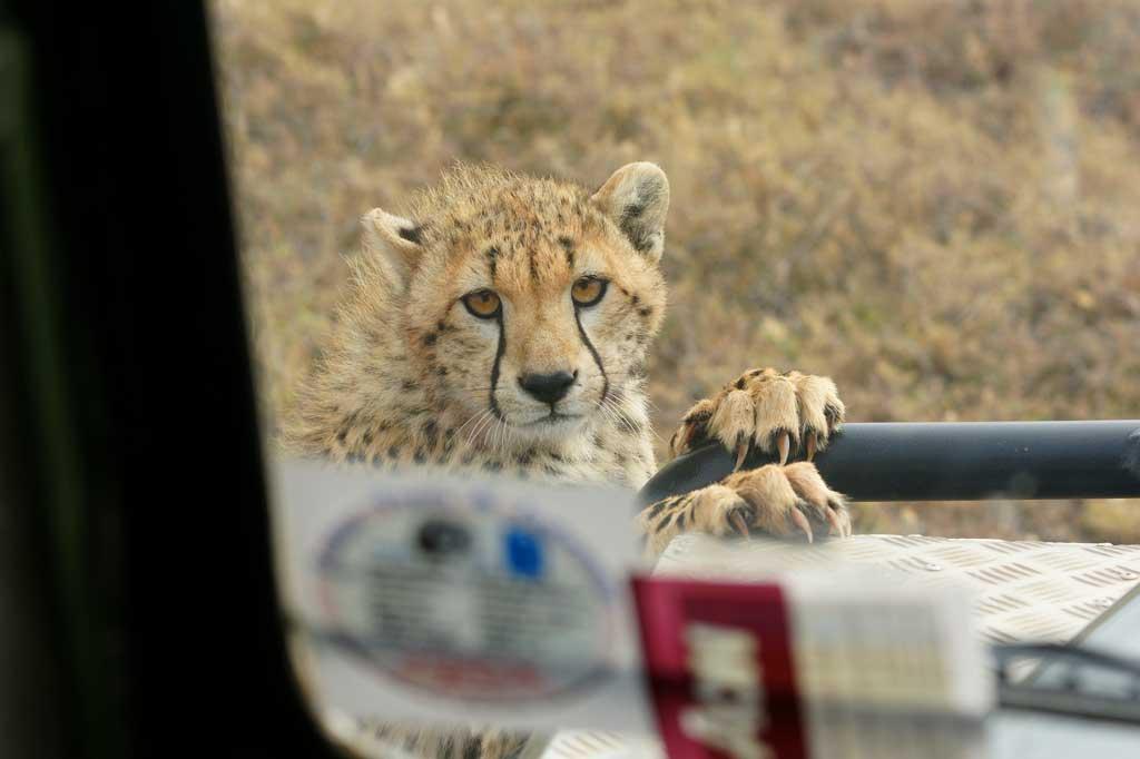 Cheetah on Vehicle