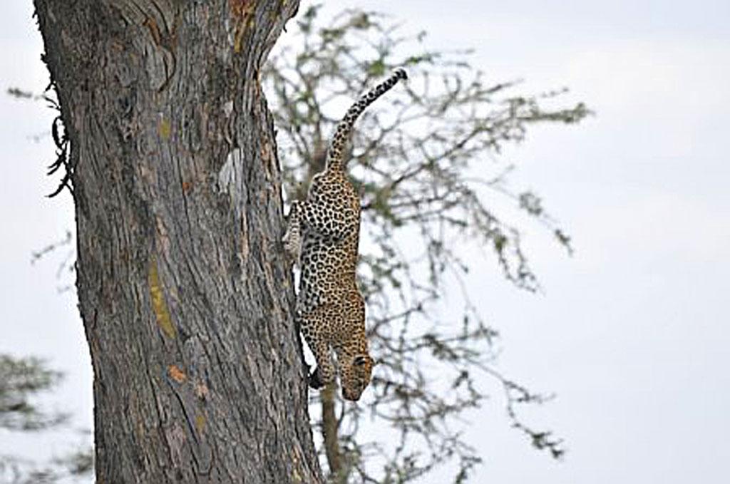 Descending Leopard