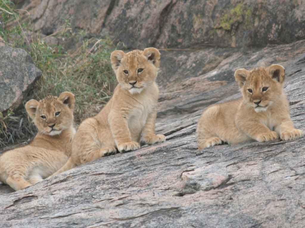E -Lion Cubs 1