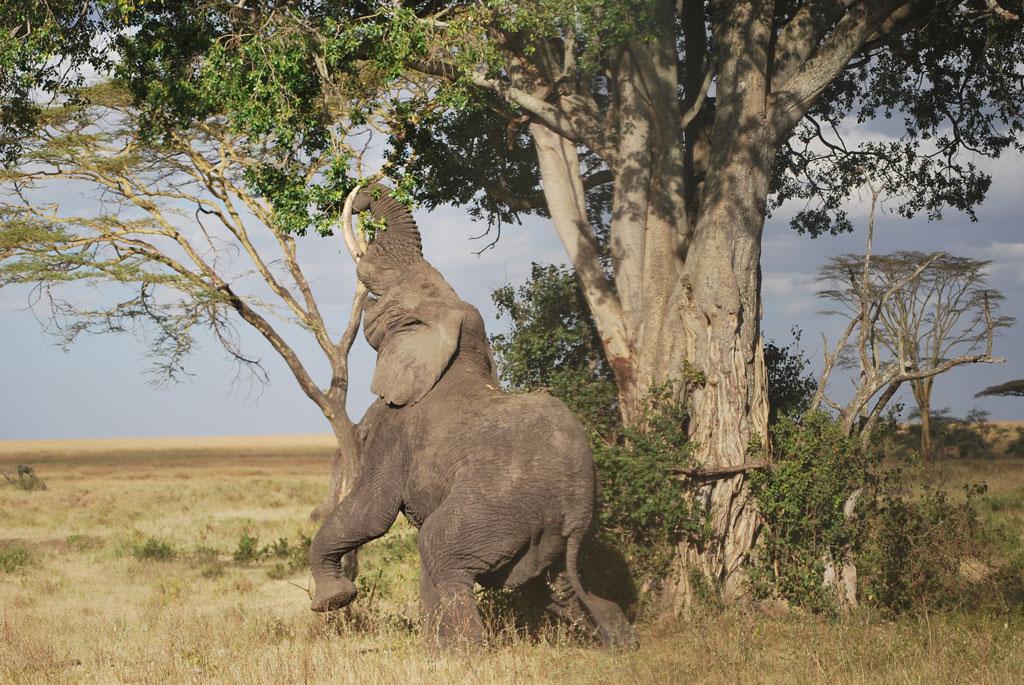 Elephant-Determination