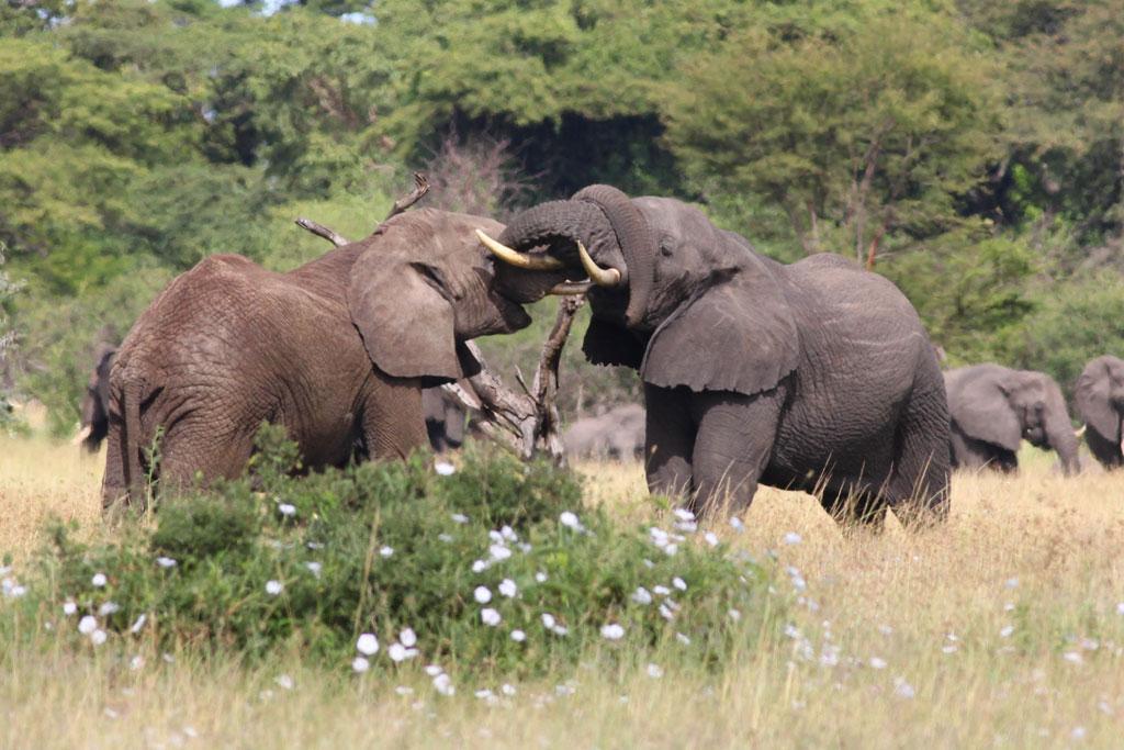 Elephant-Sparring