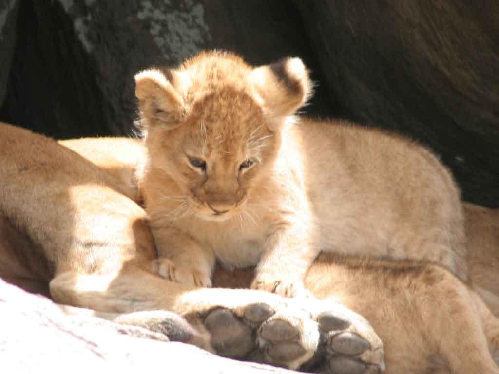F -Lion Cubs 2