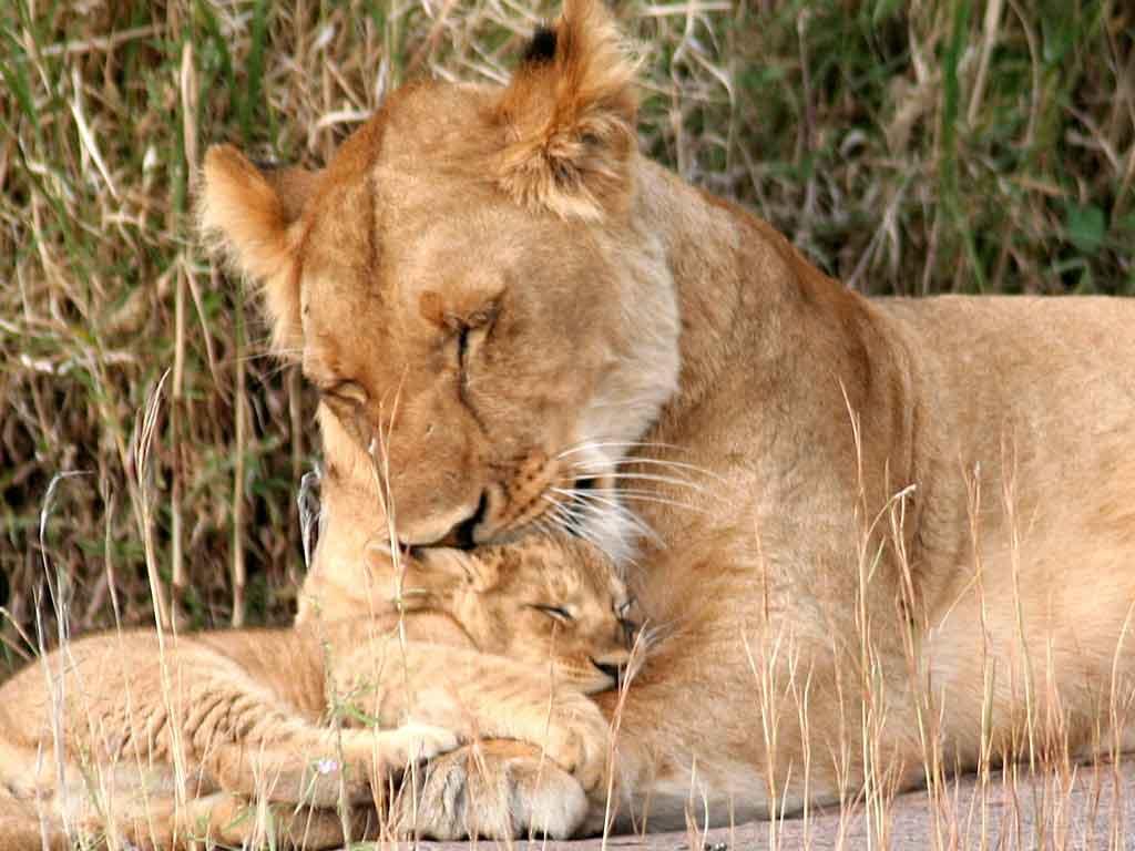 G -Lion Cubs 3