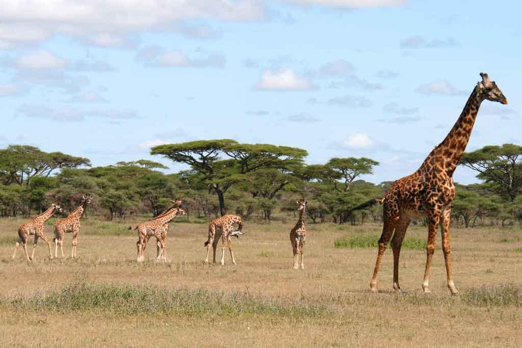 Giraffe Baby Boom