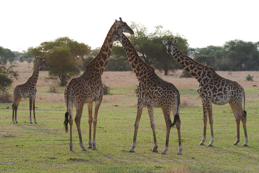 Giraffe-at-Twilight
