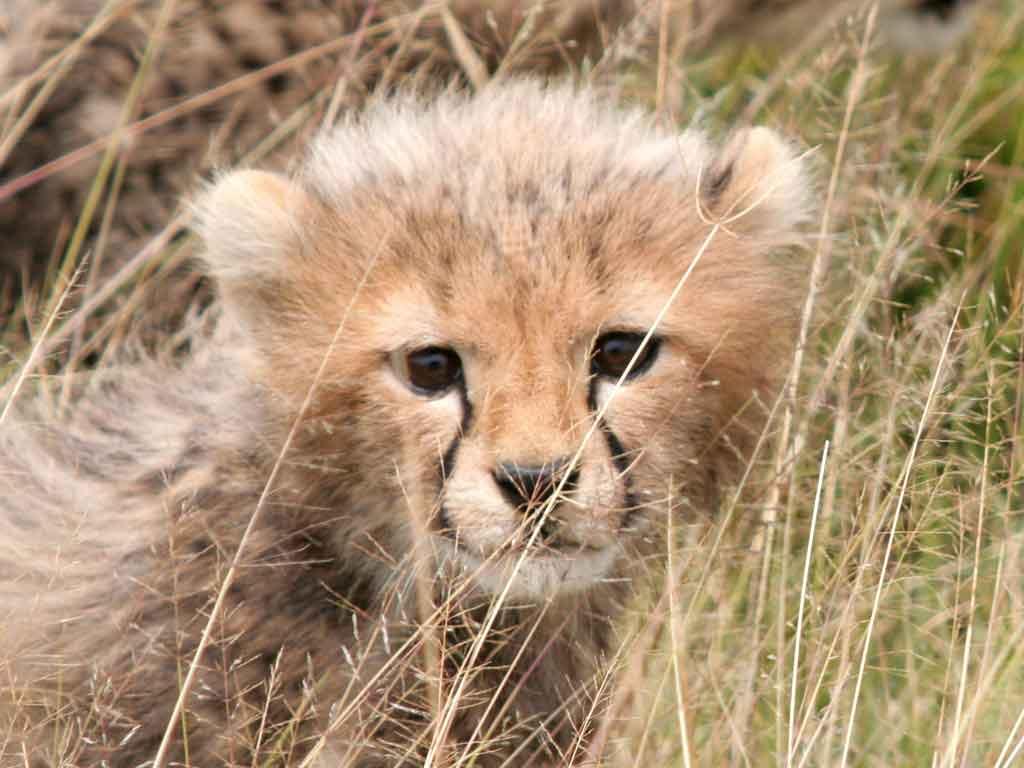H -Cheetah Cub