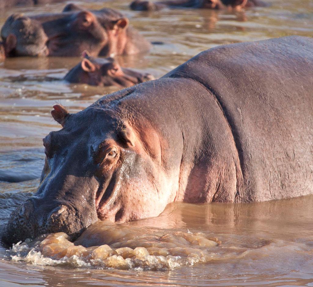 Hippo-Bubbles