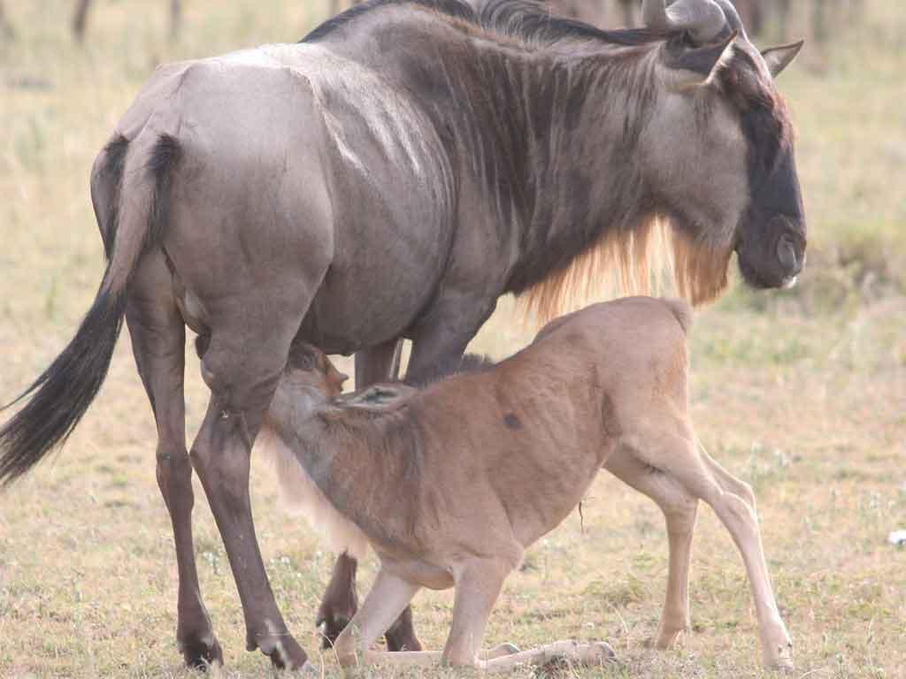 I -Baby Wildebeest
