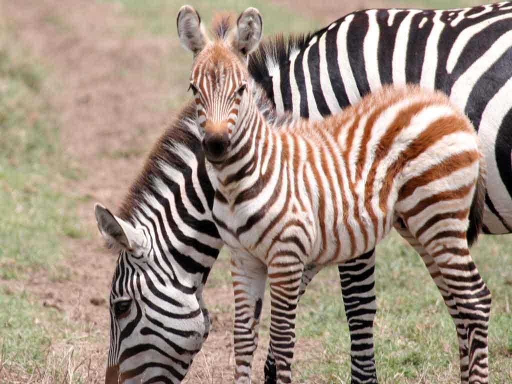 J -Zebra Foal